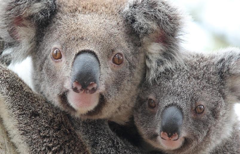 Koalas near Lismore
