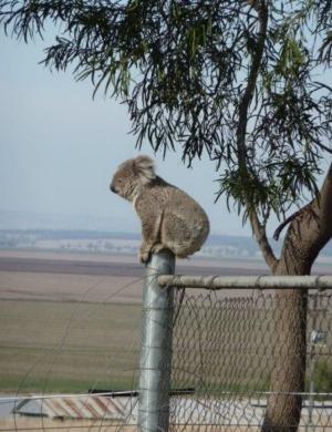 koalas upper mookie